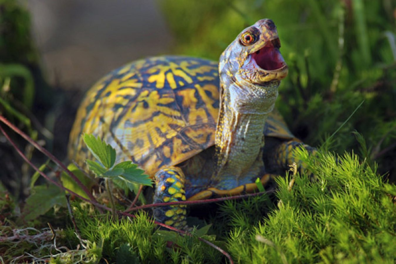 Laughing Turtle